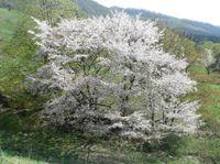 Ooyamasakura1